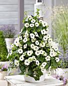 Thunbergia white