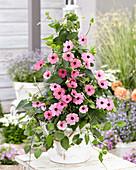 Thunbergia pink
