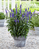 Veronica longifolia 'First Glory'