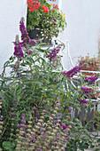 Sommerflieder im Terrassenbeet