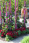 Ceylonspinat, Malabarspinat, Indischer Spinat als Kletterpflanze an pinken Stützen, Löwenmäulchen als Beeteinfassung