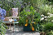 Kleine Sitzgruppe auf Sommerterrasse mit Zucchini, Schmucklilien und Sommerflieder