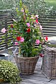 Rote und pinke Mandevilla zusammengepflanzt im Korb