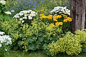 Sommerbeet mit Frauenmantel, Margeriten und Sonnenauge