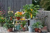 Naschbalkon mit gelber Zucchini 'Soleil', Tomate, Kapuzinerkresse 'Alaska', Sellerie, Grünkohl und Chili in Töpfen