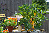Gelbe Zucchini 'Soleil' und Kapuzinerkresse 'Alaska' in Töpfen auf dem Balkon