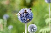 Hummeln auf Blüte von Kugeldistel