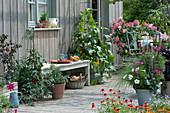 Naschterrasse mit Tomate, Gurke, Chili, Salbei, Schmuckkörbchen und Rispenhortensie