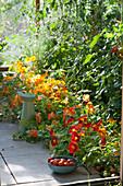 Tomaten und Kapuzinerkresse im Gewächshaus