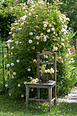 Stuhl neben Ramblerrose 'Ghislaine de Feligonde'