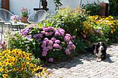 Terrassenbeet mit Sonnenhut 'Goldsturm' und Hortensie, Hund liegt am Beet
