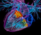 Heart and its valves,3D CT scan