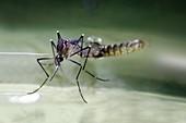 Aedes aegypti mosquito female emerging