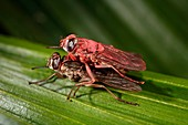 Mating male tsetse fly with tracking powder and biocide