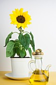 Sunflower plant with a jug of olive oil