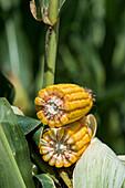Ripe corn cob cross section