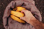 Farmer picking harvested corn cobs