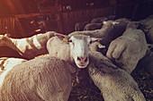 Ile de France sheep flock in pen on farm