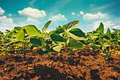 Small soybean plants growing in field