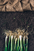 Harvested spring onions