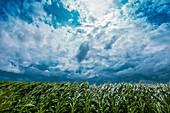 Strong wind blowing in corn field