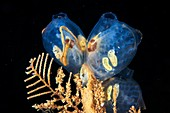 Molgula tunicates