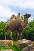 Bactrian camel.