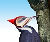 Pileated woodpecker, illustration