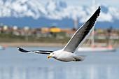 Kelp gull, Tierra del Fuego