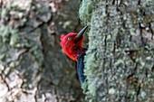 Magellanic woodpecker, Tierra del Fuego