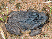 Cane Toad covered in crude oil