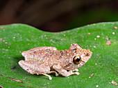 Martha's Rain Frog