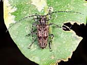 Amazonian Long-horn Beetle