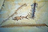 Caturus furcatus fossil fish