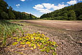 Water lilies stranded by drought