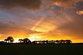 Scots pine copse at sunset, Cumbria, UK