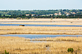 Capestang marsh, Languedoc, France