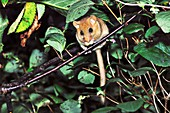 Adult female dormouse in a cherry tree