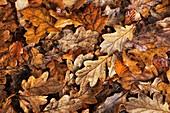 Oak leaf litter (Quercus robur)