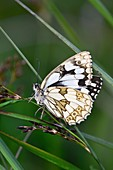 Marbled white butterfly at rest