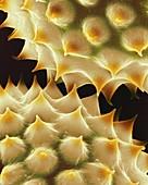 Ragweed (Ambrosia psilostachya) pollen, SEM