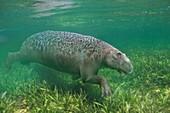 Paleoparadoxia marine mammal, illustration