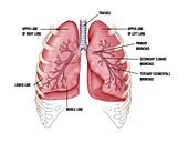 Lung bronchus and lobe anatomy, illustration