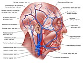 Head blood vessels, illustration