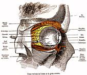 Eye anatomy, 19th century