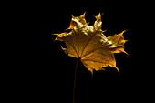 Dried sycamore leaf