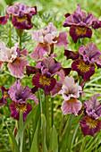 Iris hollandica Farbmix im Beet