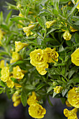 Calibrachoa Can-Can® 'Rosies Dark Yellow'