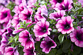 Petunia Viva ® 'Purple Vein'