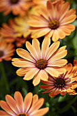 Osteospermum 'Orange Sunrise'